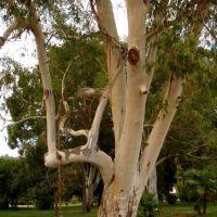 Eucalyptus / ευκάλυπτος / эвкалипт, Сухуми