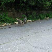 Beware of (almost)wild pigs, Джвари