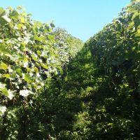 ყურძენი Vineyard viña виноградник, Кварели