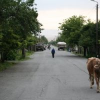 A cow in Lagodekhi, Лагодехи