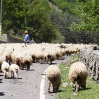 Flock of sheep, Пасанаури