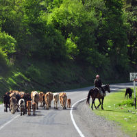 Livestock Crossing Georgian Military Highway, Пасанаури