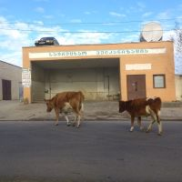 Car with German registration number GNM 835 on the roof  and the cows on the street, Самтредиа