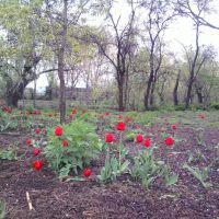 Tulips in Tskhramukha, Хашури