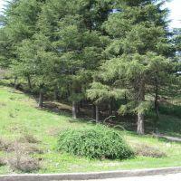 Fir trees, Цхалтубо