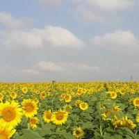 Sunflower field, Hafetz Haim, Гэдера