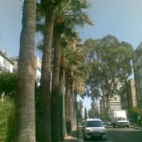 Shapira street - oldest tree in Petach Tikva, Пэтах-Тиква
