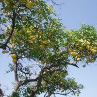 Raanana grapefruit tree, Раанана