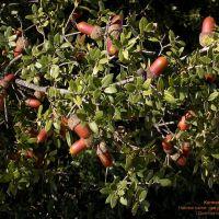 Kermes Oak...אלון...Ozol...Дуб, Samaria, Ариэль