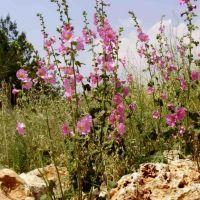 shomron  flowering, Ариэль