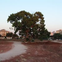 old eucalyptus tree, Од-а Шарон