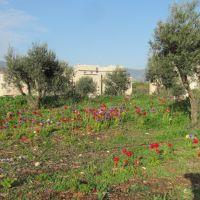 Anemones in Karmiel, Кармиэль