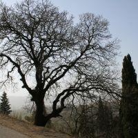 Oak tree, Кирьят-Тивон