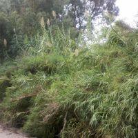 Цветущий бамбук, Кирьят-Шмона