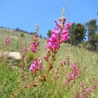 Israel. Ramot Naftali (Naphtali Ridge). Protected plant in Israel Great Snapdragon (Antirrhinum majus), Кирьят-Шмона