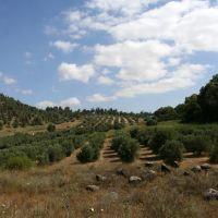 Tel-Hai, Olive trees, Кирьят-Шмона