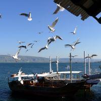 Kinneretian gulls, Tiberias, Тверия