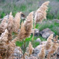 Bullrushes, Gamla, Golan Heights, Кацрин