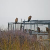 Vultures around hiking trail of Gamla, Golan Heights, Кацрин