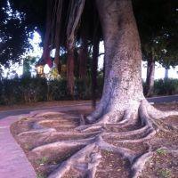 Giant eucalyptus Park Givatajim Israel, Рамат-Ган