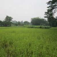 Nice Green Field. December, 2012. West Bengal, India., Байдьябати