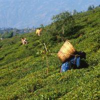 Darjeeling, teagardens, Даржилинг