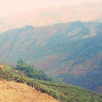 Tea Garden,Darjeeling 12/2005, Даржилинг