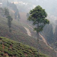 Darjeeling.theTea plantations, Даржилинг