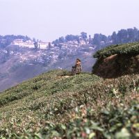 Darjiling Tea Field, Даржилинг