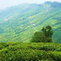 India Darjeeling Tea Garden, Даржилинг