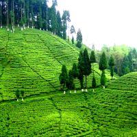 Tea garden..., Даржилинг