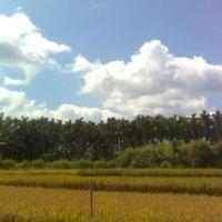 माडाची बने आणि शेती., Бияпур