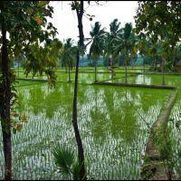 Rice Farm, Бияпур