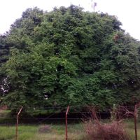 Tamarind Tree, BNPCompound, Tumkur, Тумкур