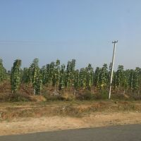 Teak Garden,Nalgonda, Andhra Pradesh, India, Анакапал