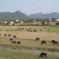 Buffalos graze Vijayanagaram fields 7843, Визианагарам