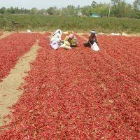 chilli processing in open field, Гунтакал