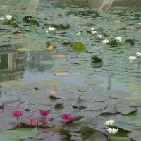 Temple in Lotus pond, Какинада