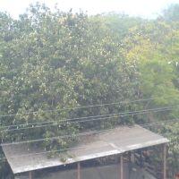 Mango on tree, Навсари