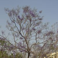 Jacaranda Tree in Ranchi, St Xavier School compound., Ранчи