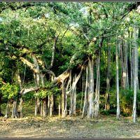 A BANYAN TREE AT DELABADI, Барейлли