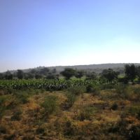 Plantain Plantation Near Nandurbar   नंदुरबार  நந்துர்பார்     P1113767, Нандурбар