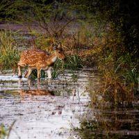 spotted deer, Бхаратпур