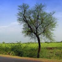 NH 12 :  A Babool Tree Somewhere  Between Niwai and Tonk, Тонк