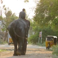 Elephant near NH 7, Диндигул