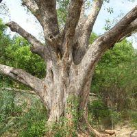 Huge tree., Тируваннамалаи