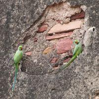 Parrots at Agra, Агра