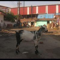 Une chèvre à Moradabad., Морадабад