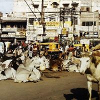 Old Delhi - Humans and cows on the street, Дели