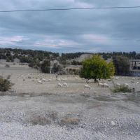 Ovejas en Valdemoro, Толедо